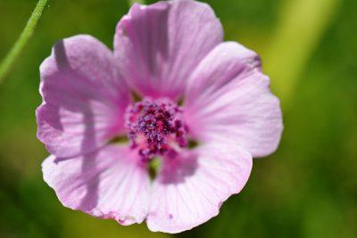 Eibischblüte